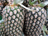 Local Pineapples